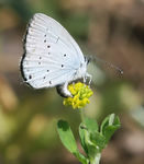 Title: Proven�al Short-tailed Blue femaleCanon EOS 40 D
