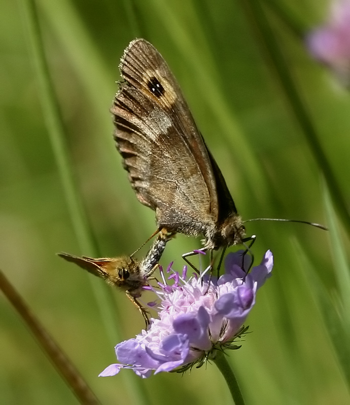 Erebia aethiops making love with T.Sylv.