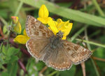 Title: Dingy Skipper - Erynnis tages