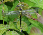 Title: Yellow-legged Clubtail male