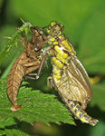 Title: Common Clubtail