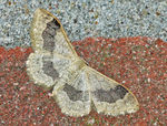 Title: Idaea aversata - Riband Wave