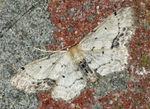 Title: Idaea dimidiata - Single-dotted Wave