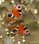 Title: Inachis io on prunus spinosa in spring