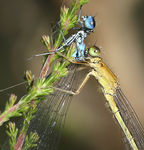 Title: Female Common Bluetail eating!