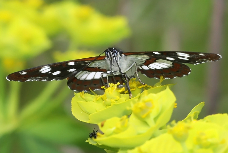 Limenitis reducta-Southern White Admiral