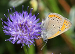 Title: Purple-edged Copper-Lycaena hippothoe