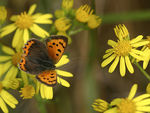 Title: Small Copper on Commo