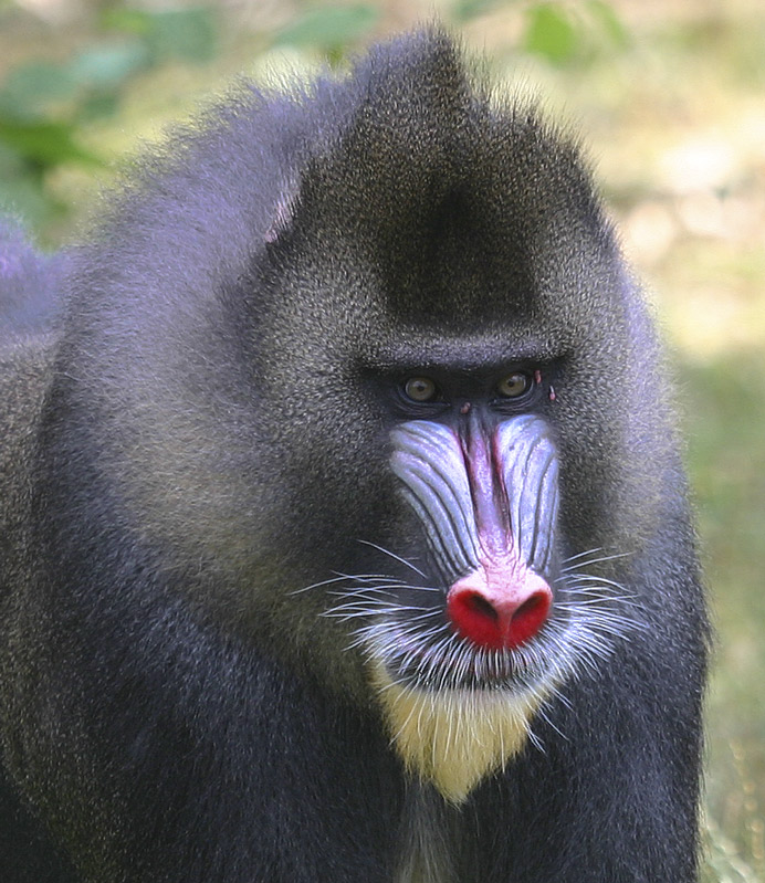 The Leader male Mandrill