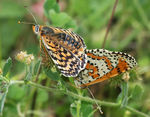Title: Spotted Fritillary copulating