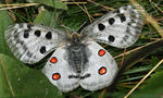 Title: Apollo - Parnassius apollo