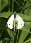 Title: Mating Green-veined Whites