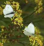 Title: Pieris rapae on Tansy Ragwort