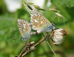 Title: Polyommatus bellargus pair mating
