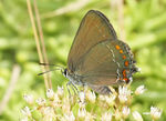 Title: Satyrium esculi - False Ilex Hairstreak