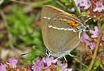 Title: Blue Spot Hairstreak