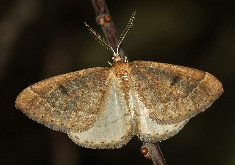 Early Moth - Thera primaria