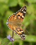 Title: Vanessa cardui - Painted Lady