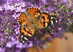 Title: Painted Lady - Vanessa cardui