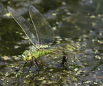 Title: Female Anax imperator laying eggs