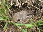 Title: Baby Bunny