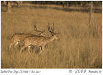 Title: Cheetal Stags