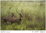 Title: Cheetal Pair