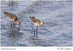 Title: Godwits in line