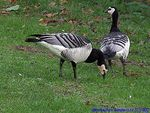 Title: Barnacle Goose