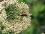 Title: The ladybirds
