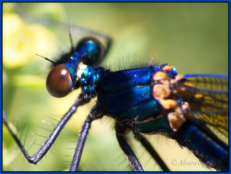 Agrion virgo eye