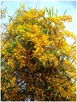 Title: Acacia in Flower