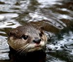 Title: Otter swimming