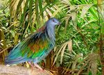 Title: Colourful  Nicobar Pigeon