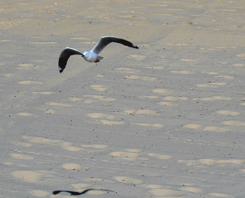 A Silver Gull on the Wing