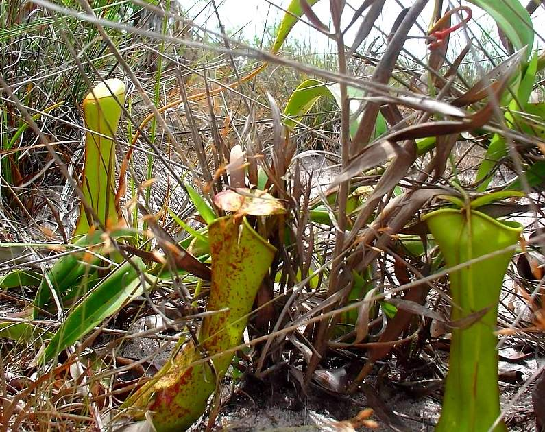 Fly Trap Plants in the Wild