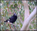 Title: Pied Currawong   III