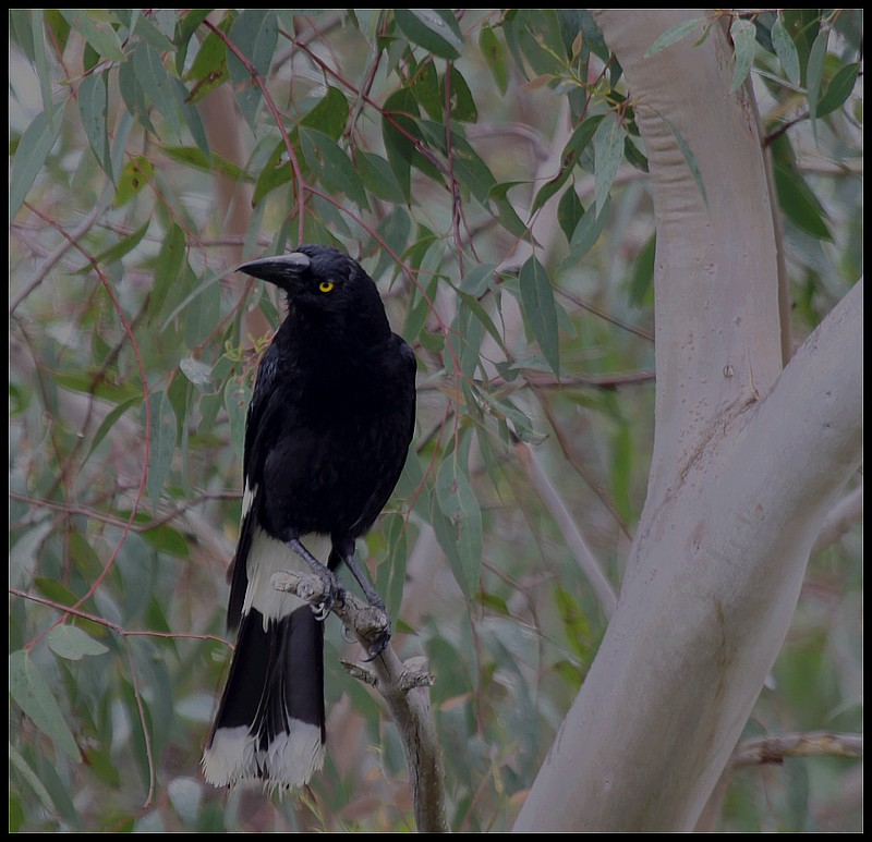 Pied Currawong  II
