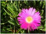Title: Flowering Ice Plant
