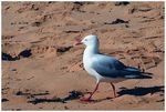 Title: Gull at Longreef