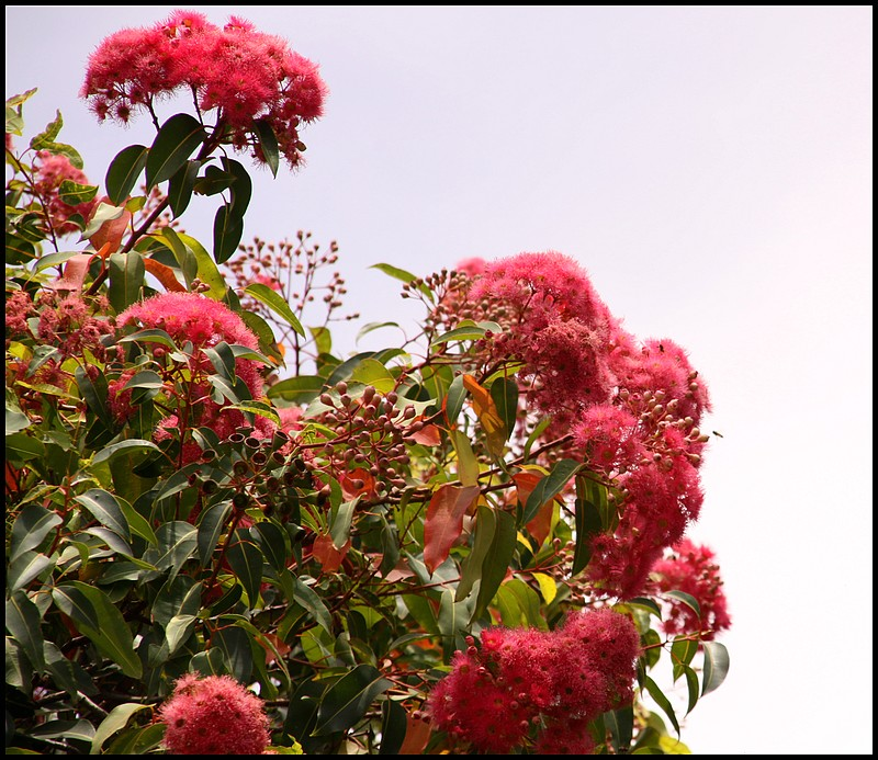 Red Gum Flowers and Gumnuts