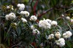 Title: Gum Trees in Flower