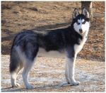 Title: Siberian Husky or Wolf