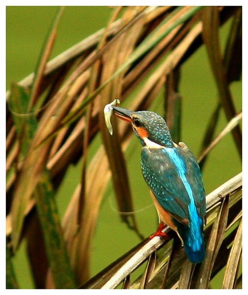 Kingfisher with Larvae