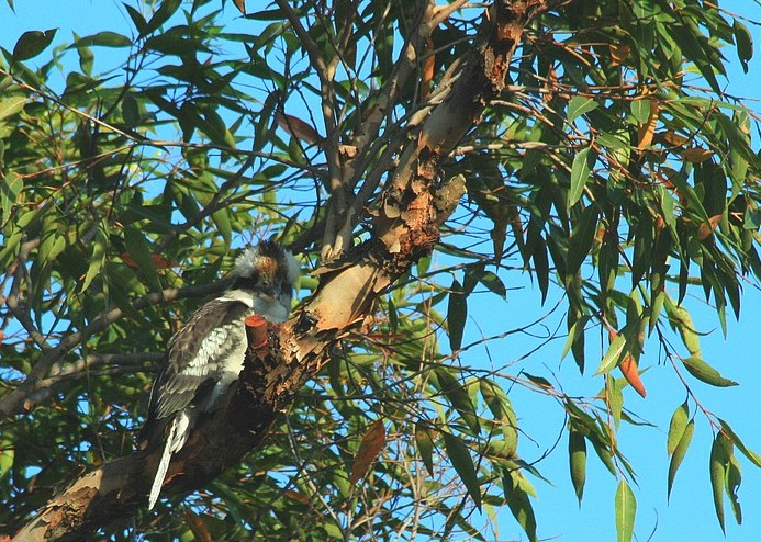 An Aussie Gumtree   Click Image to View Larger This Image