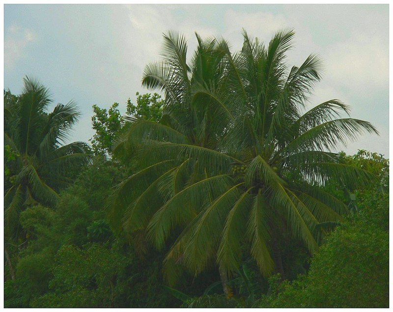 Coconuts in Natural Setting