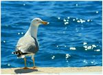 Title: Milos Sea Gull
