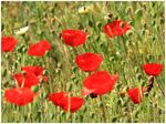 Title: Red Poppies