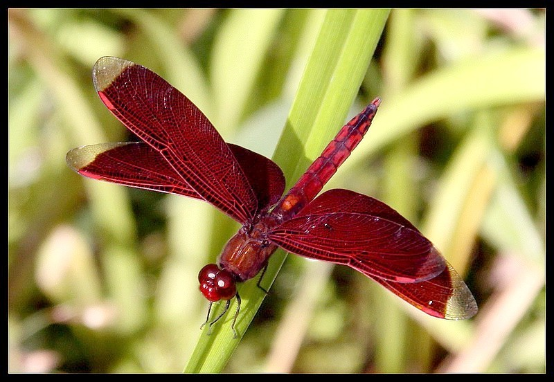 Borneo Red Dragonfly