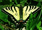 Title: Canadian tiger swallowtailCanon PowerShot S1 IS